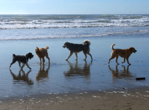 dogs at Fort Funston