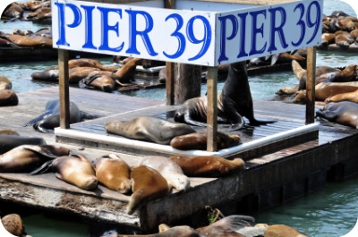 Sea Lions at Pier 39 San Francisco at Fisherman's Wharf